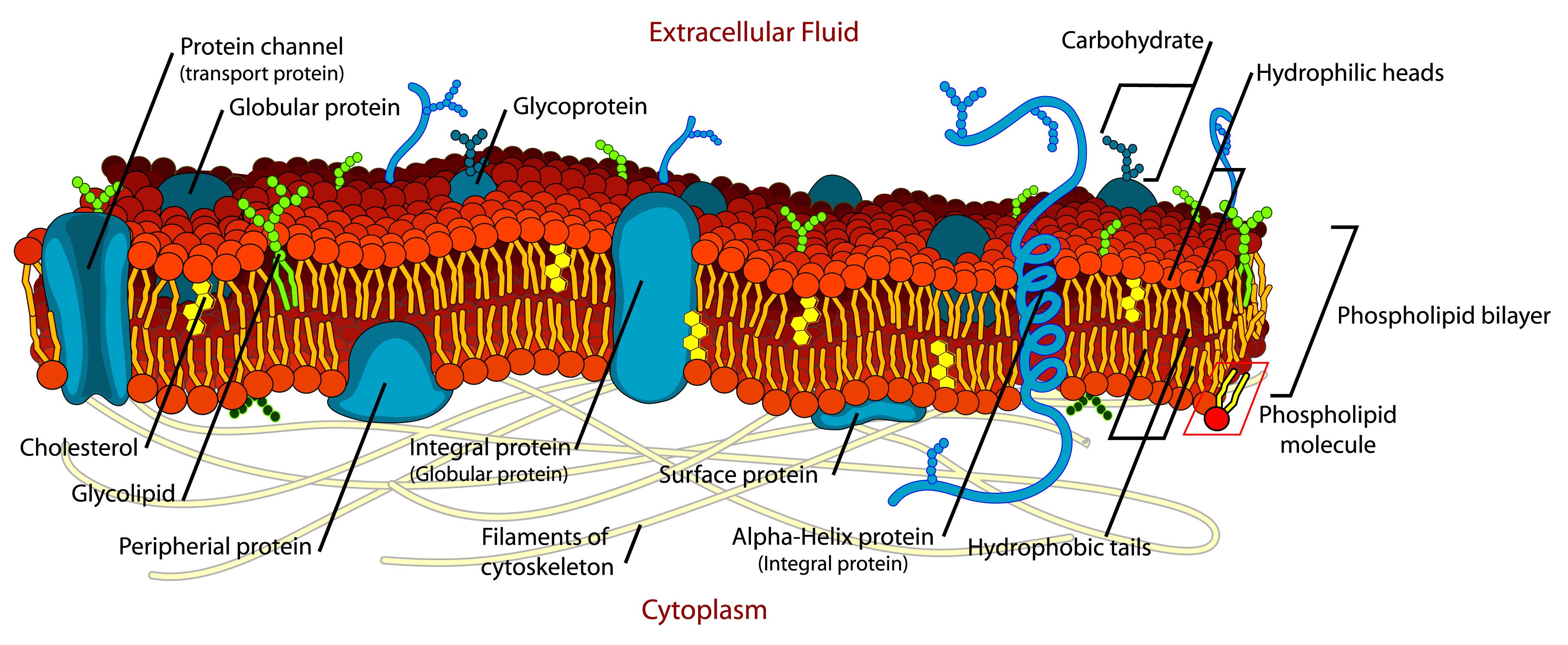 Cell_membrane_detailed_diagram_en.jpg